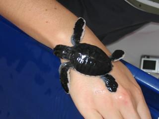 Riesenschildkröte - ein Tag alt - winzige Riesenschildkröte, Jungtier, Reptil, Schildkröte
