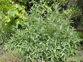 Salbei - Salbei, Lippenblütler, mehrjährig, krautig, Heilpflanze, Tee, Küchengewürz, ätherische Öle