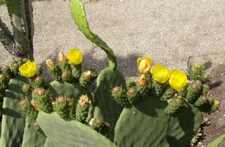 Opuntien - Opuntien, Ohrenkaktus, Feigenkaktus, Kaktusfeigen, Früchte, Blüte, Sprossteile, Ohren, Stacheln