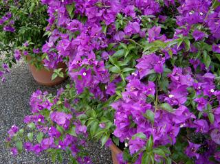 Bougainvillea - Bougainvillea, Kletterpflanze, Wunderblumengewächs, violett, lila