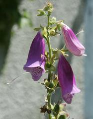 Fingerhut - Digitalis - Fingerhut, Giftpflanze, Blüte, Blume, Garten, Wegerichgewächs, Digitalis pupurea, krautig