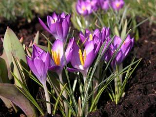 Krokus - Krokus, Frühblüher, Frühling, Jahreszeiten, lila
