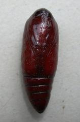 Puppe - Larve, Metamorphose, Puppe, Schmetterling, Kiefernspanner, Bupalus piniaria