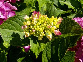 Hortensie - Hortensie, Gartenhortensie, Hortensiengewächs, Blüte