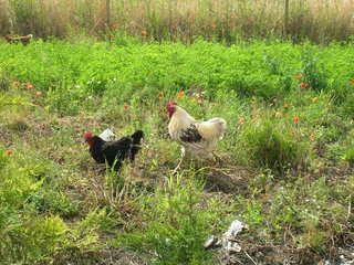 Hahn und Henne - Hahn, Huhn, Henne, Haustier, Federvieh, Ei, Nest, Wiese, frei, laufen, Nahrung, suchen, fressen, Feder, Kamm, Schnabel