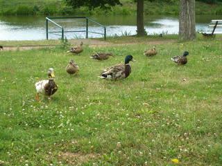 Enten - Vogel, Ente, Erpel, Männchen, Weibchen, Stockente, Wasser, laufen, frei, Natur, schwimmen, Schnabel, Federn, sieben