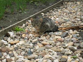 Katzenkind - Haustier, Jungtier, Tierkind, Katze, grau, getigert, Fell, Kätzchen, sitzend, warten