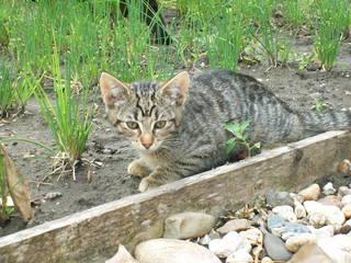 Kätzchen - Haustier, Jungtier, Tierkind, Katze, grau, getigert, Fell, Kätzchen, anschleichen