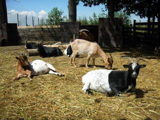 Ziegen - Haustier, Ziege, Paarhufer, Stroh, liegen, stehen, ausruhen, fressen, Sonne, Fell, schwarz, weiß, braun, bunt, Herde