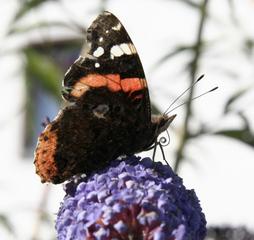 Schmetterling - ADMIRAL - Nymphalis polychloros, Admiral, Schmetterling, Falter, Symmetrie, flattern, Schmetterlingsflieder