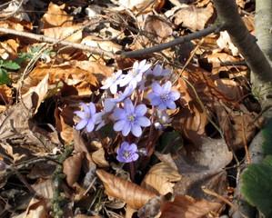 Leberblümchen - Leberblümchen, Frühblüher, Wald, Boden, Natur, Pflanze, Blume, lila, blühen, Laub, Laubschicht