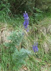 Eisenhut - Eisenhut, Wolfswurz, Hahnenfußgewächs, Hummelblume, Aconitum, Heilpflanze, Giftpflanze, giftig