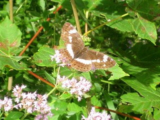Kleiner Eisvogel - Schmetterling, Eisvogel, Insekten, Natur, Wiese