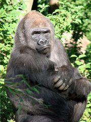 Mürrischer Gorilla - Gorilla, Affe, Primat, Menschenaffe, Pflanzenfresser, mürrisch, Zoo, Tiergarten