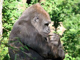 Gorilla - Gorilla, Affe, Primat, Menschenaffe, Pflanzenfresser, Zoo, Tiergarten