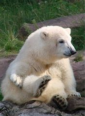 Eisbär - Eisbär, Jungtier, Säugetier