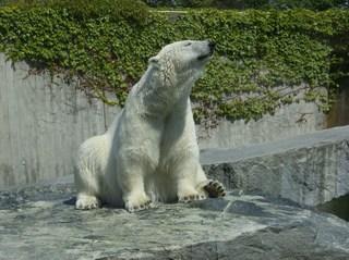 Eisbär - Eisbär, Bär, Polarbär, Raubtier