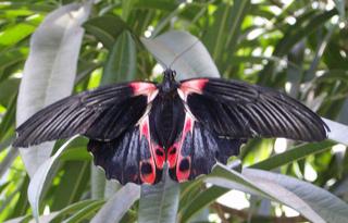 Scharlachroter Schwalbenschwanz - Scharlachroter Schwalbenschwanz, Schmetterling, Falter, Flügel, symmetrisch, Symmetrie