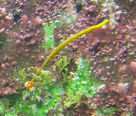 Seenadel - Seenadel, Fisch, Syngnathinae, Tarnung, Knochenfisch