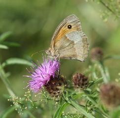 Großes Ochsenauge #2 - Schmetterling, Falter, Maniola jurtina