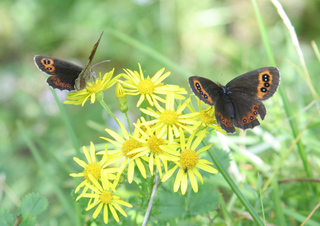 Mohrenfalter #2 - Schmetterling, Falter, Erebia ligea