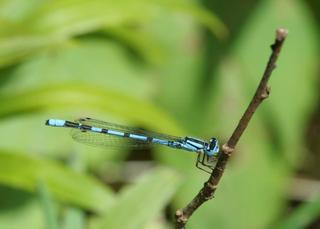 Hufeisen-Azurjungfer #1 - Libelle, Sommer, fliegen, Flügel, Hautflügel, Biologie, Insekten, Gliederfüßler, Insekt, Flügelpaar, Gewässer, Tümpel, See, Teich