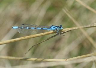 Hufeisen-Azurjungfer #2 - Libelle, Sommer, fliegen, Flügel, Hautflügel, Insekten, Gliederfüßler, Insekt, Flügelpaar, Gewässer, Teich, Tümpel, See