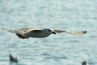 Möwe - Flugbild - Möwe, Wasservogel, Vogel, fliegen