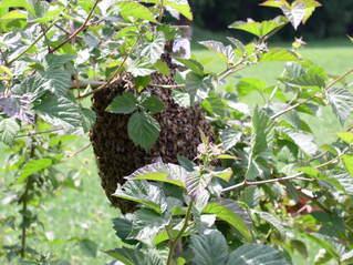 Bienenvolk im Brombeerstrauch #1 - Biene, Bienen, Bienenvolk, Stamm, Brombeeren
