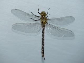 Libelle - Libelle, Sommer, fliegen, Flügel, Hautflügel, Insekten, Gliederfüßler, Insekt, Flügelpaar, Gewässer