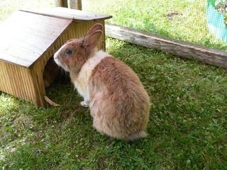 Kaninchen - Kaninchen, Hase, Hasenartige, Haustier, Freilauf, Pflanzenfresser, Leporidae, Karnickel