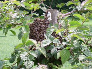 Bienenvolk im Brombeerstrauch#2 - Bienen, Biene, Bienenvolk, Stamm, Brombeeren