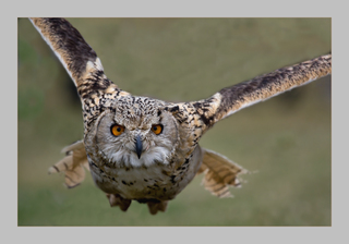 Uhu im Anflug - Greifvögel, Greife, Vögel, Uhu, Flugbild, fliegen