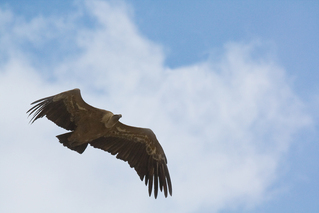 Gänsegeier - Greife, Greifvögel, Vögel, Geier, Gänsegeier, Andalusien, fliegen