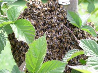 Bienenvolk  im Brombeerstrauch#3 - Bienen, Biene, Bienenvolk, Stamm, Brombeeren