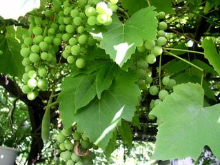 Unreife Weinrebe - Wein, Trauben, Weinrebe, Weinlese, grün unreif