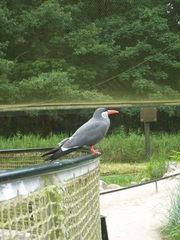 Inkaseeschwalbe - Vogel, Schwalbe, Seeschwaöbe, grau, Schnabel