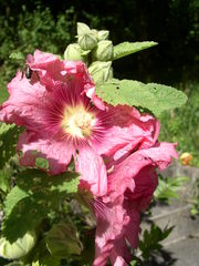 Blüte der Stockrose mit Insekt - Stockrose, Stockmalve, Staude, Bauerngarten, Heilpflanze, Malvengewächs, Staubblätter, Stempel, Biene