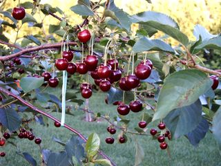 Sauerkirschen - Garten, Sauerkirschen, Baum, Ast, Kirschen, rot, Obst, Frucht