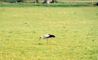 Storch - Storch, Wiese