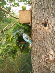 Wellensittiche - Wellensittich, Vögel, zwei, Freiflug, gelb, blau, Federn, nisten, Baum