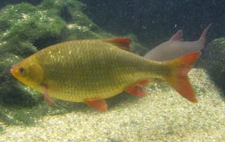 Rotfeder - Rotfeder, Fisch, Karpfenfisch, Unechtes Rotauge, Rötel, Rotblei, Schwarmfisch