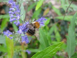 Hummel im Lavendel - Hummel, Lavendel, Nektarsuche, Hautflügler