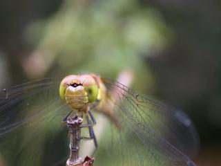 Libelle - Facettenaugen - Libelle, Insekt, Facettenaugen, Komplexauge