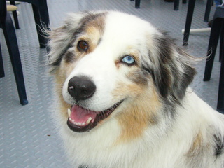 Australischer Schäferhund #2 - Schäferhund, Hündin, reinrassig, Nutztier, Herdenhund