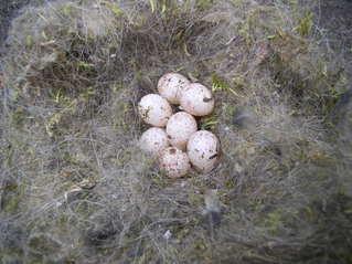 Blaumeisennest - Nest, Blaumeise, Gelege, Nistmaterial, Eier, Vogeleier, Schreibanlass
