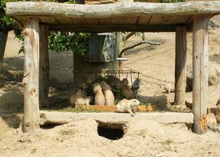 Schwarzschwanzpräriehund - Zootier, Fell, klein, Pflanzen, Sand, Wildtier, Erdhöhlen, Pflanzenfresser, Insektenfresser