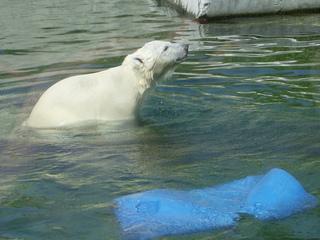 Kleiner Eisbär - Eisbär, Jungtier, Bär, Raubtier, Sohlengänger
