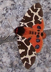 Schmetterling Brauner Bär #1 - Brauner Bär, Arctia caja, Schmetterling, Nachtfalter, Bärenspinner, Falter