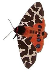 Schmetterling Brauner Bär #2 - Brauner Bär, Arctia caja, Schmetterling, Nachtfalter, Bärenspinner, symmetrisch, Symmetrie, Falter